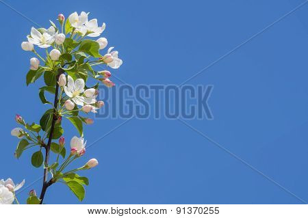 Branch Of The Apple Blossom