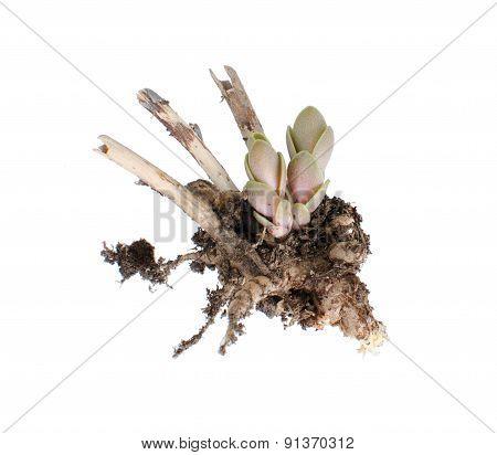 Sedum Spectabile Sprout