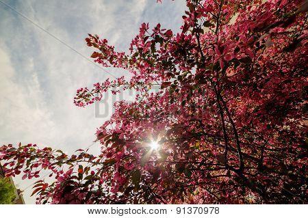 Pink Blooming Apple Tree