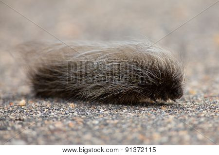 Grey Hairy Worm Slowly Crawling Over Tar Road