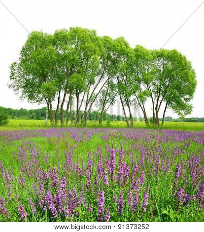 Flowering meadow with trees on white background. Spring landscape.