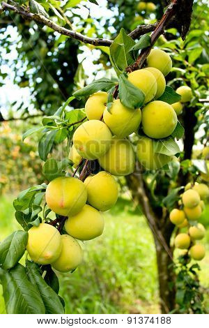 Ripening peaches on tree in orchard