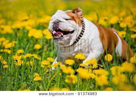 english bulldog on a dandelions field