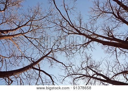 Nude Trees Against Blue Sky As A Background