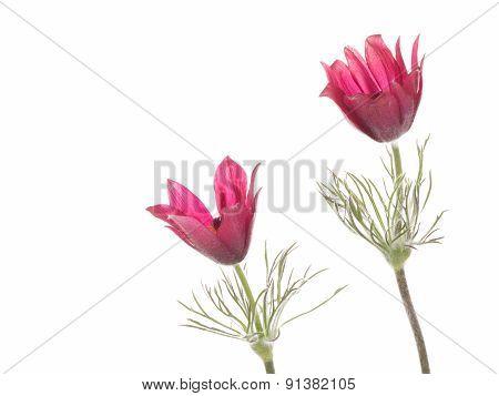 Bright Flowers Pulsatilla Patens
