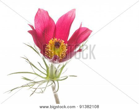 Spring Red And Pink Flower Pulsatilla Patens
