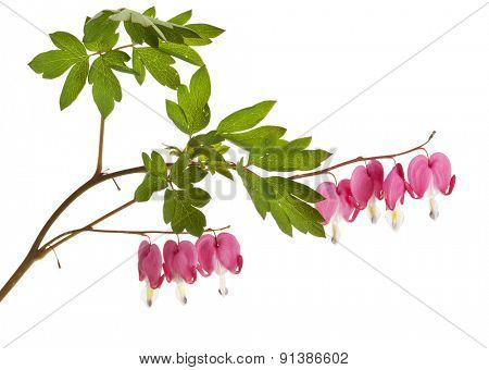 Lamprocapnos spectabilis or Bleeding Heart flower isolated on white