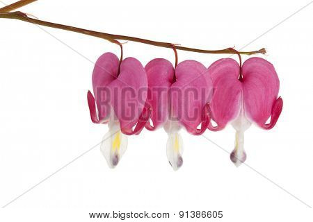 Blossoms of Lamprocapnos spectabilis or Bleeding Heart isolated on white