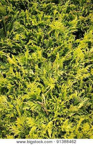 Conifer Leaves & Branches - Evergreen Foliage