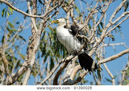 Little Pied cormorant - Australia
