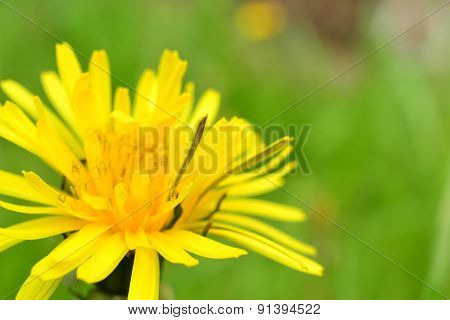 Blossoming Yellow Dandelion Early Spring