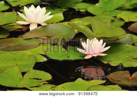 Water Lily With Reflection