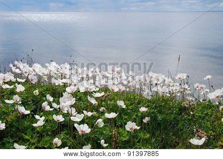 Coastal White Anemones