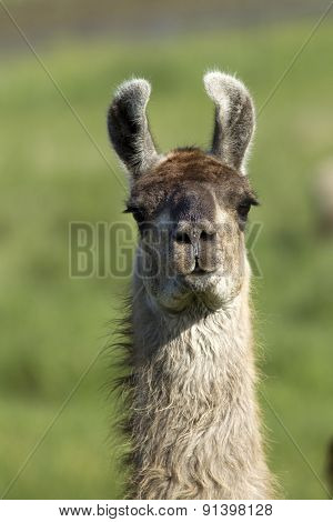 Portrait Of Llama In Field.