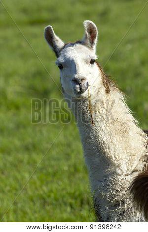 Portrait Of White Llama.