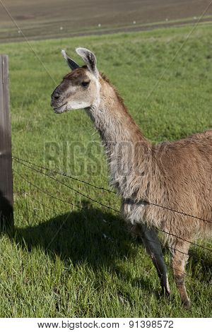 Sideview Of Llama By Fence.