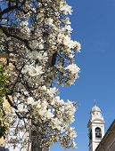 pic of magnolia  - Magnolia with white flowers at spring in Tradate (Varese Lombardy Italy) ** Note: Shallow depth of field - JPG