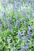 stock photo of salvia  - Purple salvia flowers at the nature  - JPG