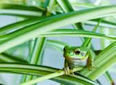 stock photo of prince charming  - Little green frog cleverly hiding in the leaves - JPG