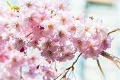pic of ube  - Cherry blossoms or Sakura flowers in full bloom in spring - JPG