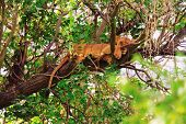pic of lioness  - Lioness sleeping on a tree in Nakuru national park - JPG