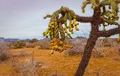 pic of vegetation  - Chain fruit cholla is native vegetation found in the Sonora Desert of Arizona and Mexico - JPG