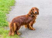 stock photo of long hair dachshund  - The Dachshund is in the park on the grass - JPG