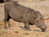 pic of grassland  - Warthog or Common Warthog  - JPG