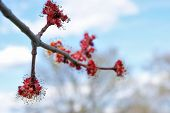 image of early spring  - A vibrant macro of a red maple tree budding in the early spring. ** Note: Shallow depth of field - JPG