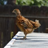 picture of poultry  - Rhode Island Red chicken poultry beautiful American breed - JPG