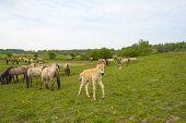 picture of herd horses  - Herd of Konik horses in the wilderness in spring - JPG