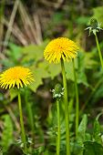 picture of dandelion  - Dandelions in the meadow. Bright flowers dandelions on background of green meadows. ** Note: Shallow depth of field - JPG