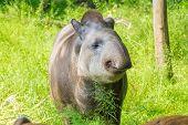stock photo of tapir  - Lowland tapir  - JPG