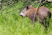 foto of tapir  - Young lowland tapir  - JPG