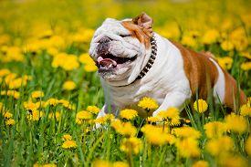 stock photo of bulldog  - english bulldog dog walking outdoors in summer - JPG
