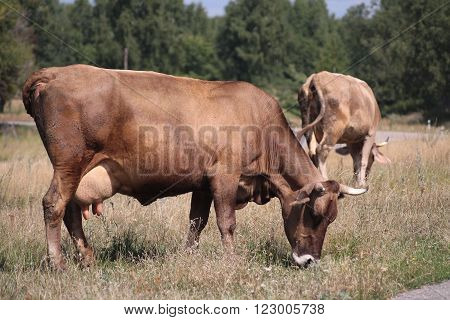 red cow with a full udder eating grass