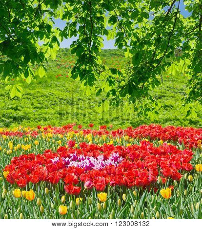 Flower bed of varicoloured tulips under the branches of the chestnut against the background of the with grass