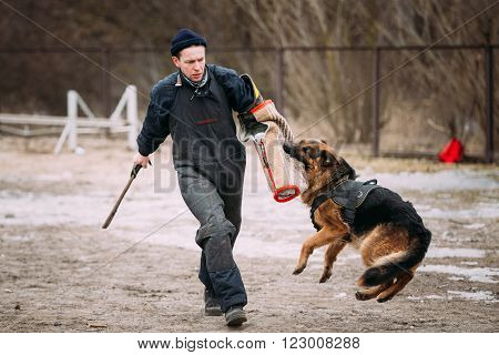 GOMEL, BELARUS - FEBRUARY, 20, 2016: German shepherd dog training. Biting dog. Alsatian Wolf Dog. Deutscher, dog