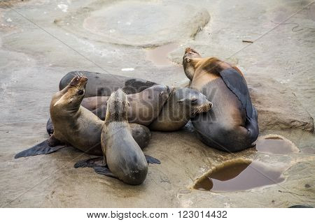 Family of sea lions resting on rocks in La Jolla beach in San Diego, CA, USA