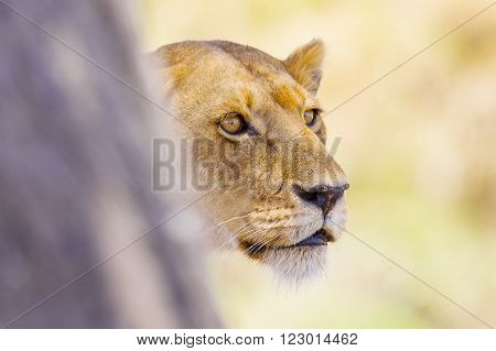 Large lioness stands behind tree in Serengeti Tanzania, Africa. Rests at the savannah.