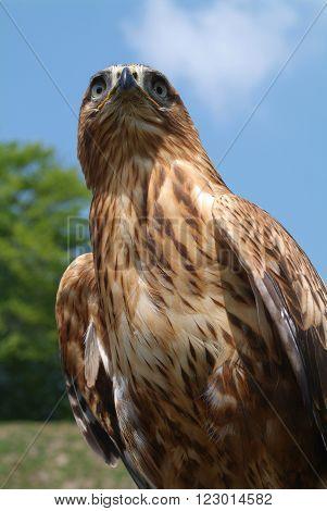 Closeup of an eagle on the sky