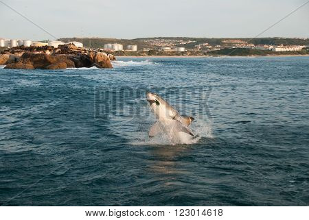 A great white shark breaching out of the water and biting down a seal cut out