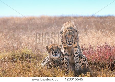 A cheetah staring ahead while their siblings relaxes in the sun