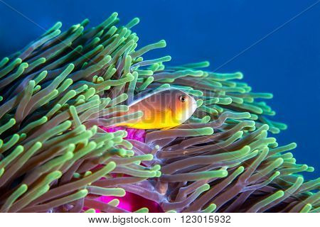 A clown fish swimming in the safety of it's anemone home, in Mozambique