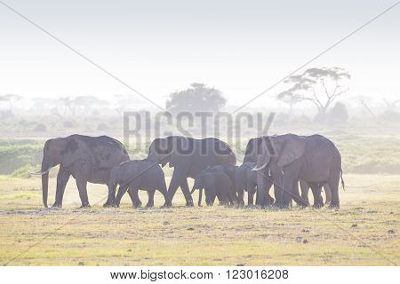 Herd of elephants walkig in Amboseli National park, Kenya, Africa.