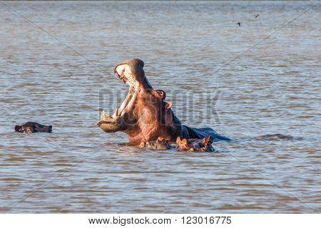 Hippopotamus Yawning in the setting sun in St Lucia