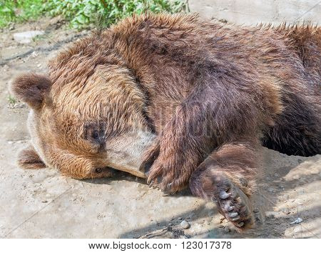 brown bear is shy and lie down