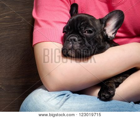 Bulldog puppy at the hands of man. Big dog muzzle. Puppy Brindle. Breed French Bulldog