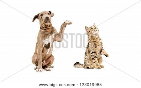 Funny puppy pit bull and curious cat Scottish Straight isolated on white background