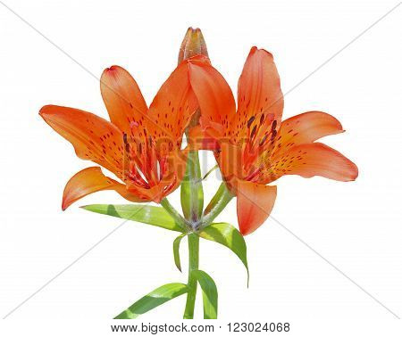A close up of the flowers of wild lily (Lilium pensylvanicum). Izolated on white.
